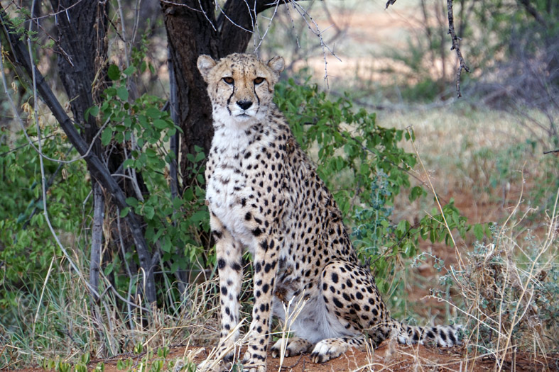 Namibia Cheetah Conservation Fund